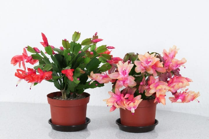 how to get a Christmas cactus to bloom