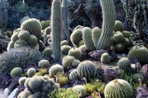 Where do Cactuses Grow?
