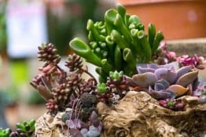 Where do Succulents Grow?
