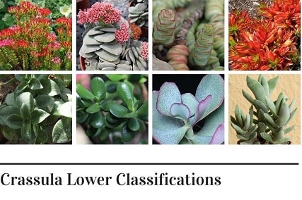 12 Examples of Crassula Lower Classifications