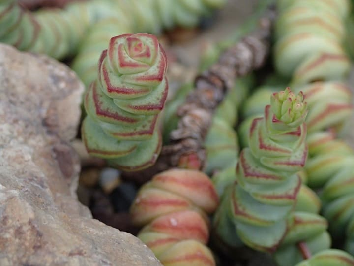 12 Examples of Crassula Lower Classifications 11