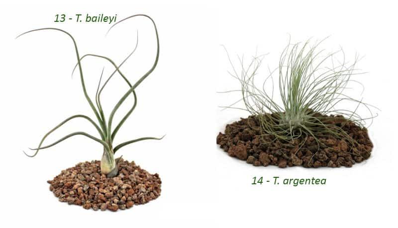 air plant species