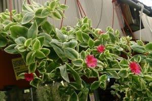 Cat's Tongue Plant: Aptenia Cordifolia Variegata Care