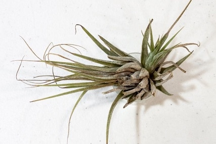 dehydrated air plant