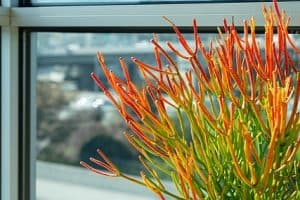 Is the Firestick Plant Toxic?