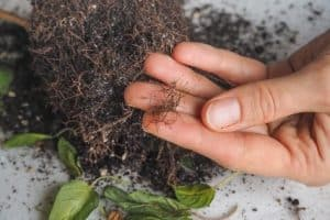 How to Fix Root Rot in Soil and Avoid Killing Your Plant