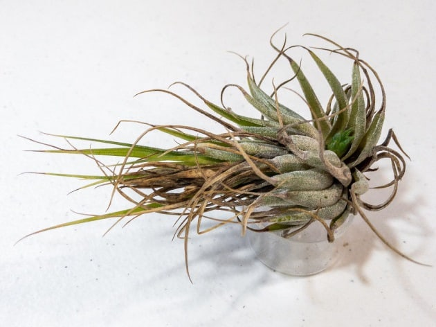 Do These 3 Things to Save a Dehydrated Air Plant 3