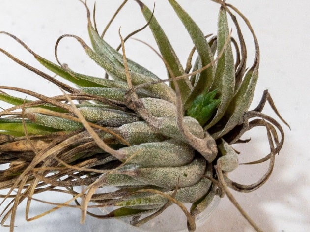 Do These 3 Things to Save a Dehydrated Air Plant 4