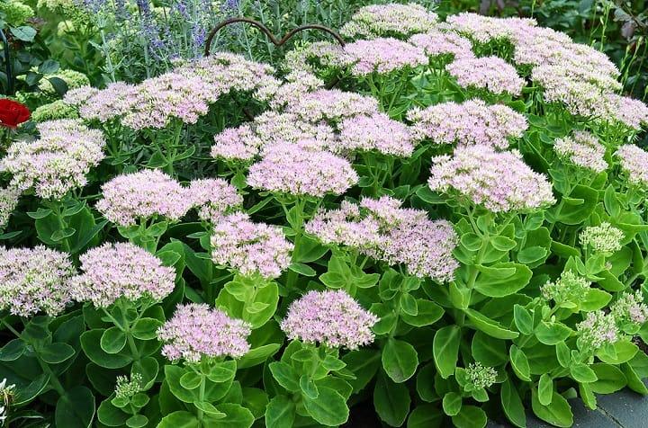 10 Tall Sedum Varieties for a Fascinating Garden 1
