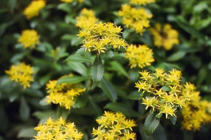 10 Tall Sedum Varieties for a Fascinating Garden 2