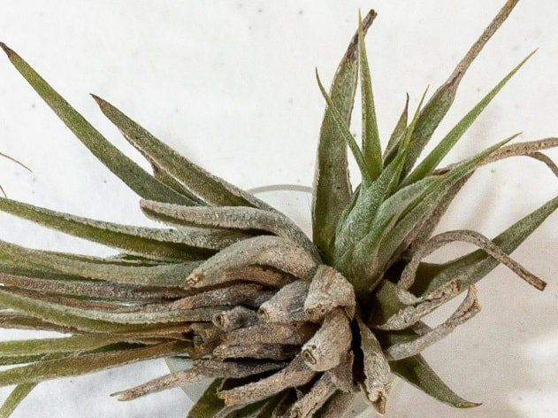 Do These 3 Things to Save a Dehydrated Air Plant 2