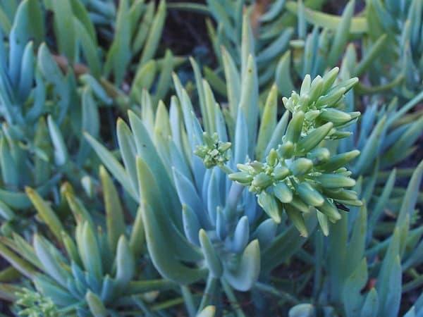 24 Varieties of Senecio Lower Classifications 22