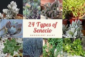 24 Varieties of Senecio Lower Classifications