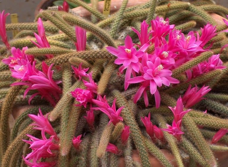 Rat Tail Cactus: Detailed Info and Care Guide
