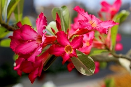 How to Grow Adenium from Seeds: 5 Tips to Successful Germination
