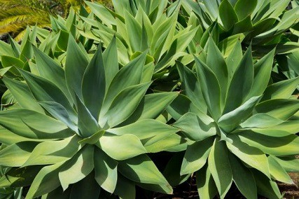 How to Grow Agave from Seeds in 7 Easy Steps