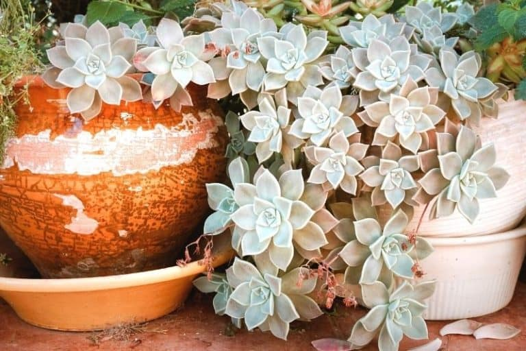 How Fast Do Succulents Grow + 5 Tips on Growing Them Faster