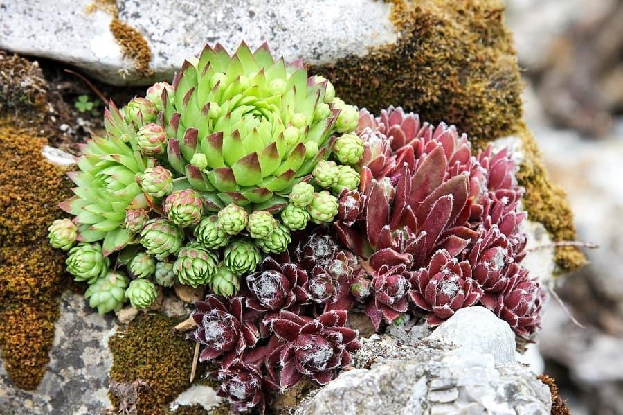 como plantar suculentas en rocas