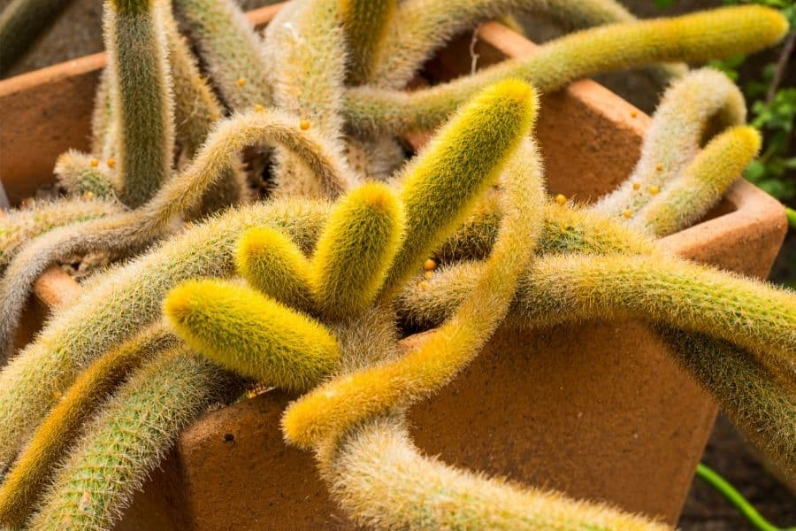 how to propagate cleistocactus