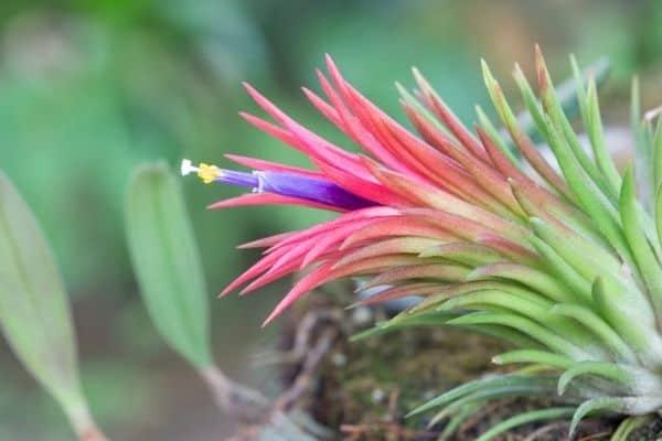 soin des plantes ionantha air