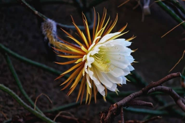 31 Types of Selenicereus and Care: Moonlight Cactus Ultimate Guide