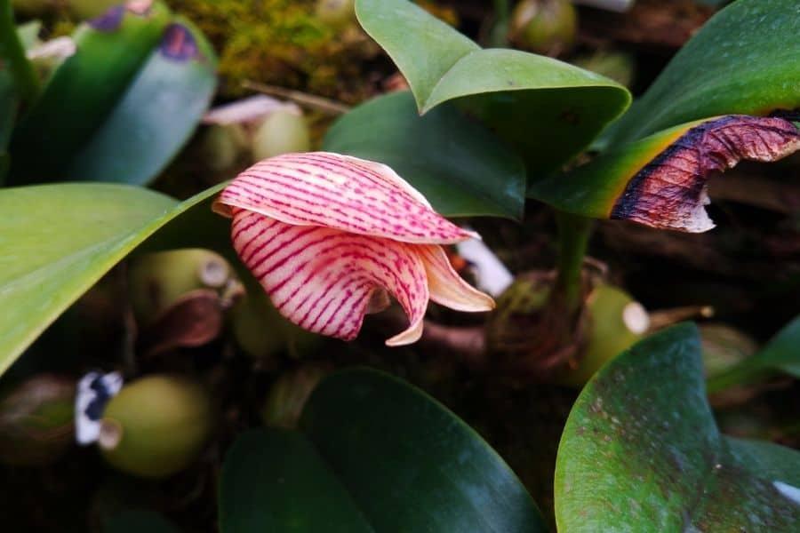 bulbophyllum plant
