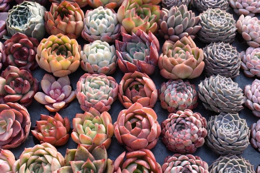 rare succulents plants