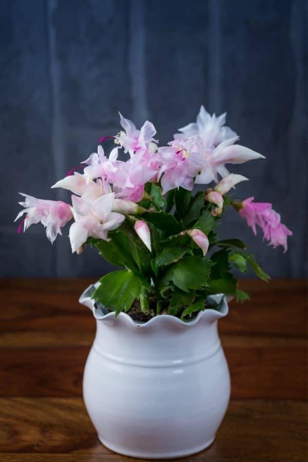schlumbergera plants in pot