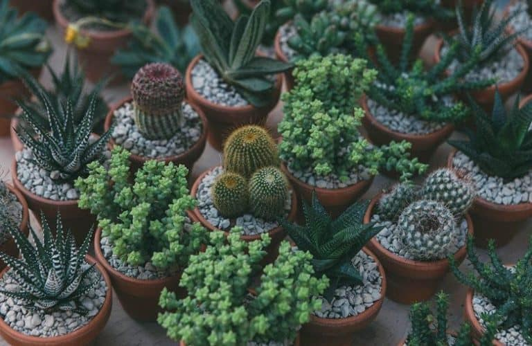 Farming Succulents for Sustainable Living to Combat Global Warming