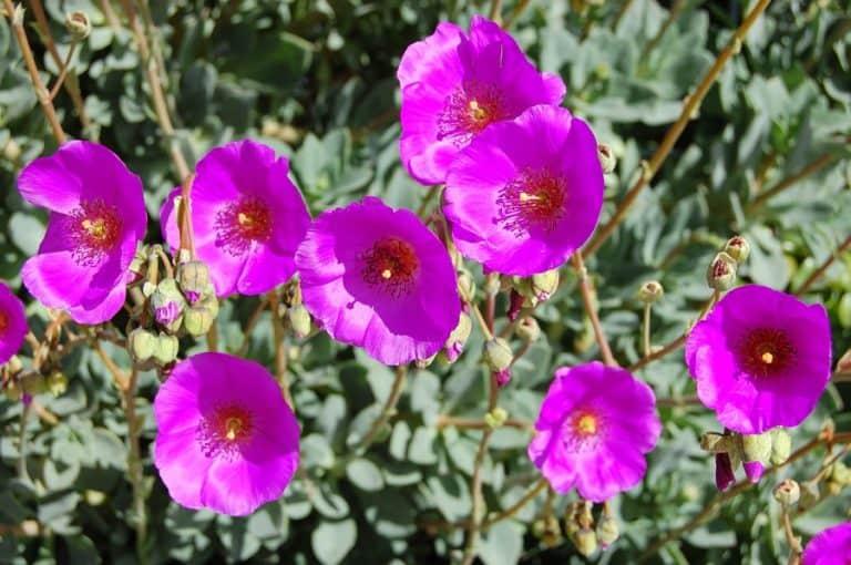 24 Types of Calandrinia: Purslanes Care and Propagation Guide