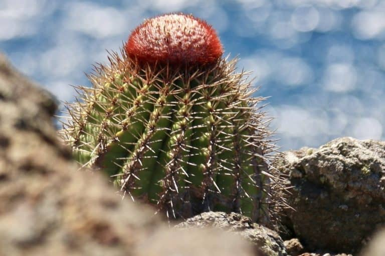 35 Types of Melocactus: Melon Cactus Care and Propagation Guide