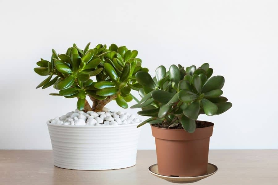 how to care for jade plants