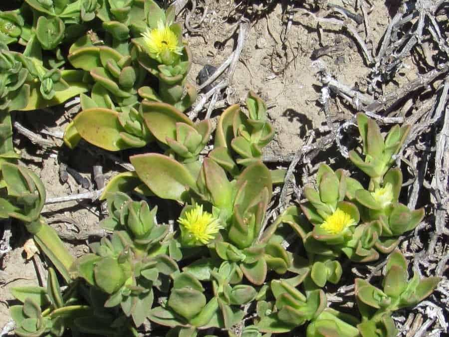 Aptenia haeckeliana