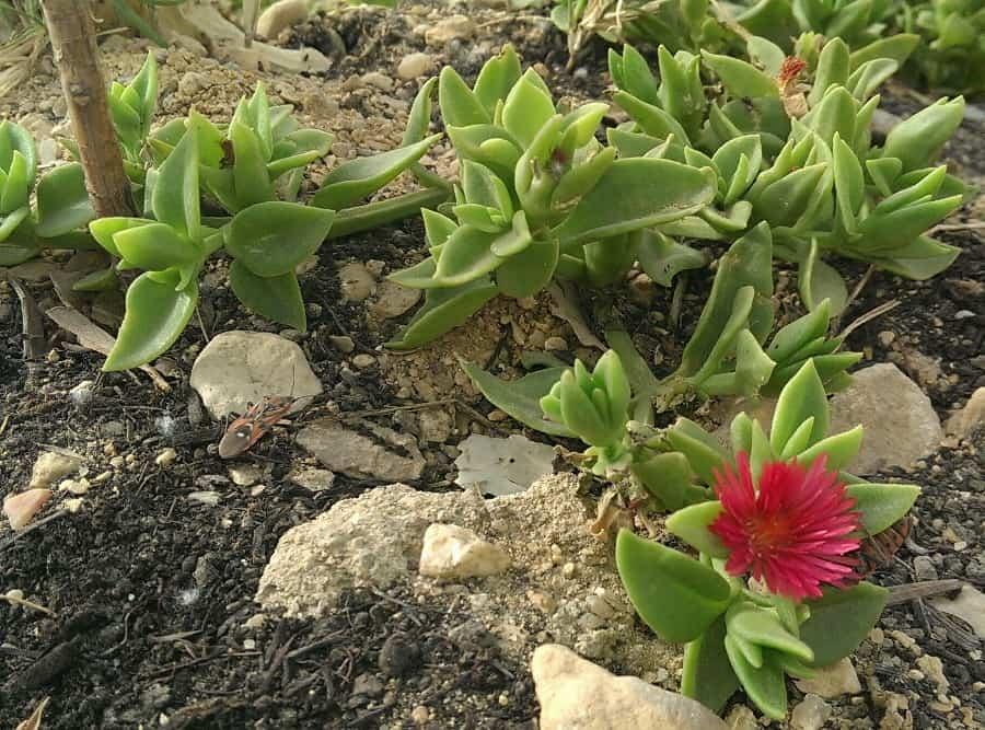 Aptenia lancifolia