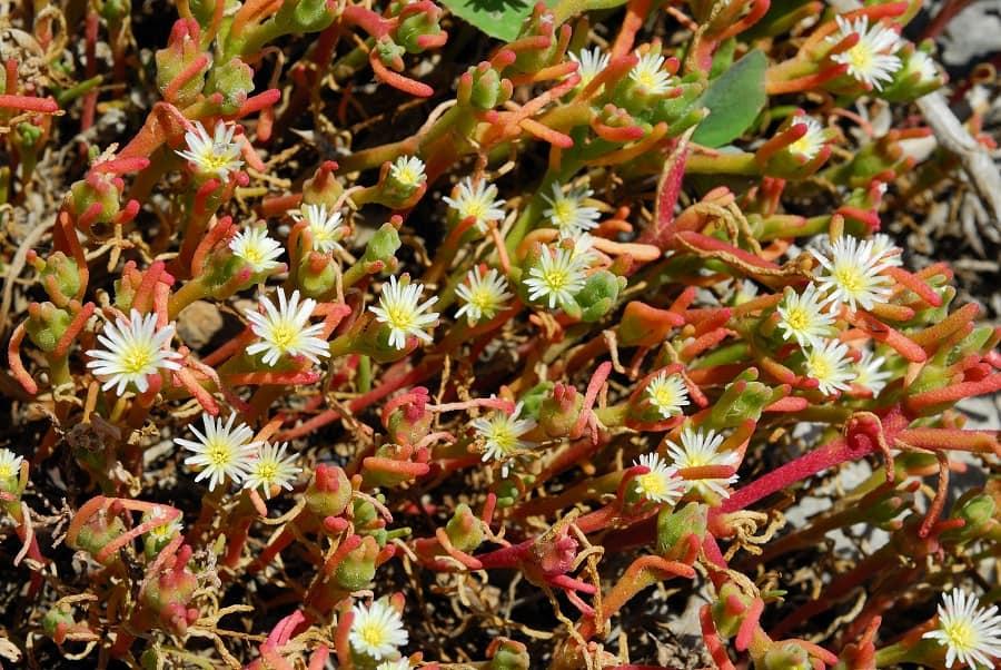 succulent ground cover plants