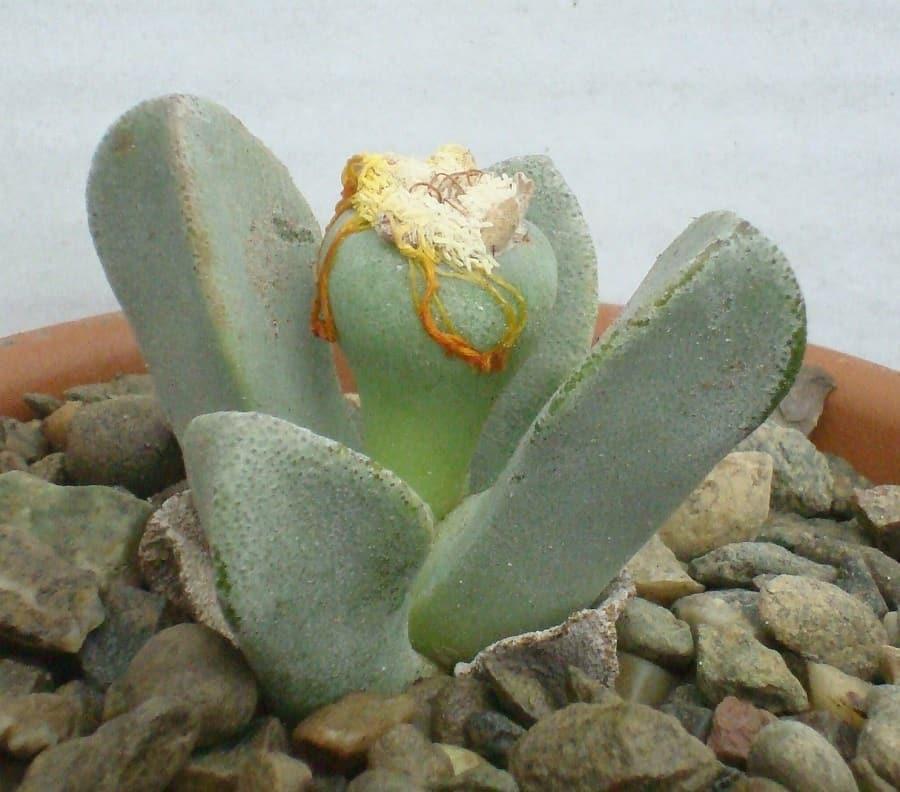 Pleiospilos compactus ssp fergusoniae