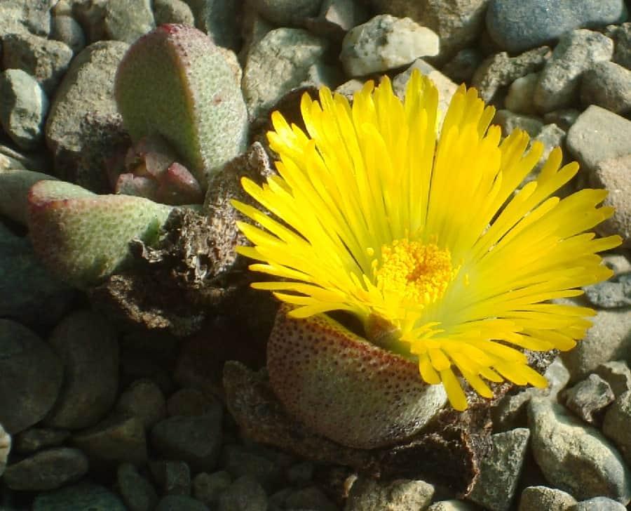 Pleiospilos compactus ssp minor