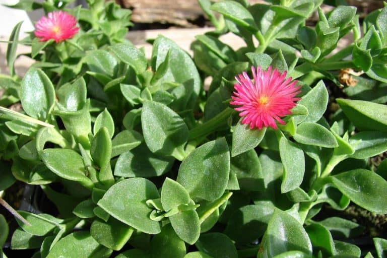 4 Types of Aptenia: Care and Propagation Guide