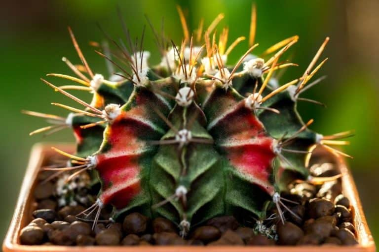 96 Types of Gymnocalycium: Care and Propagation Guide