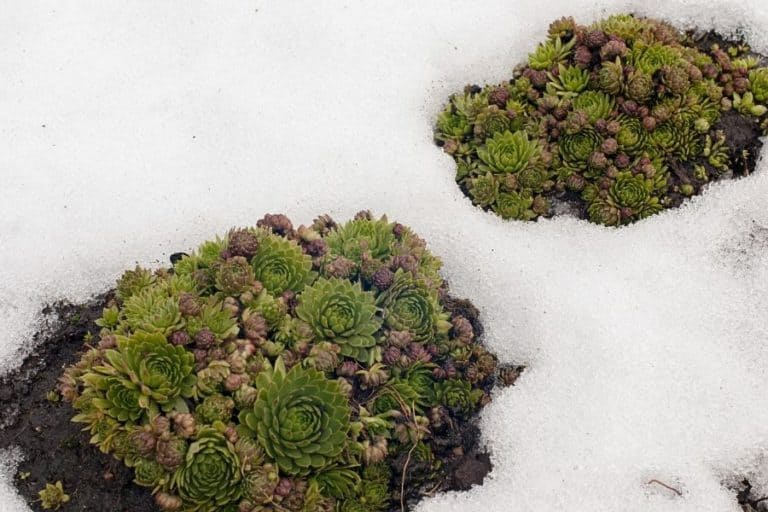 How to Care for Succulents in Winter