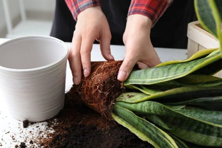 How to Separate Snake Plant : Beginners Guide