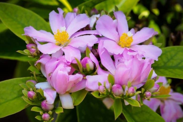 8 Types of Pereskia: Care and Propagation Guide