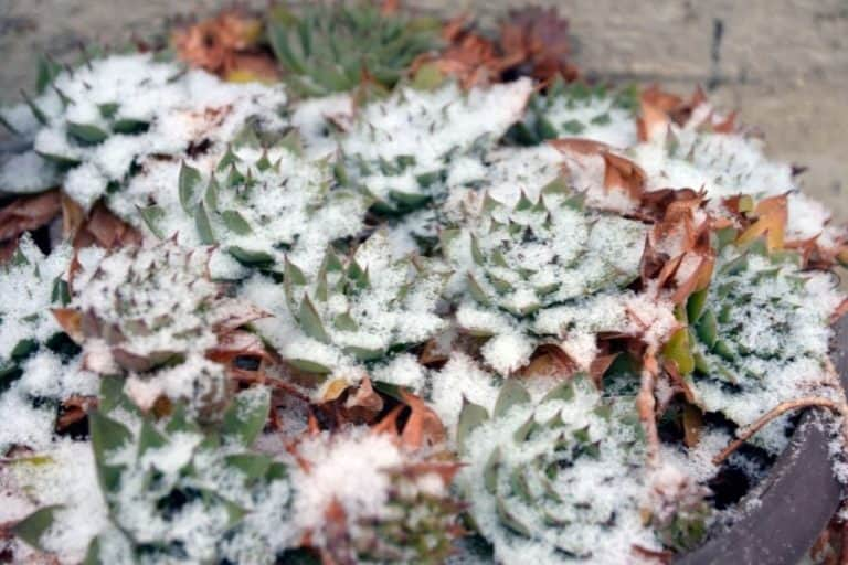 What Temperature Is Too Cold for Succulents?