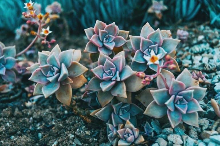 20 Types of Graptopetalum: Care and Propagation Guide