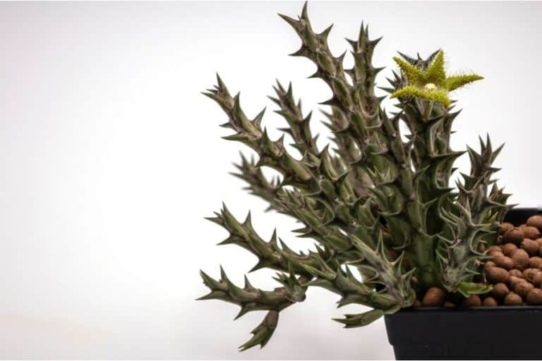 46 Types of Huernia: Care and Propagation Guide