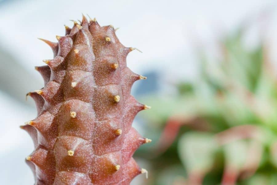 is huernia a cactus